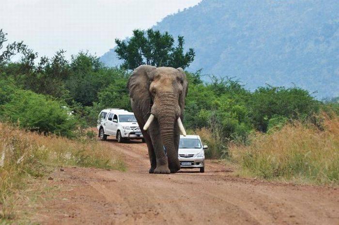 Никогда не обгоняйте... слонов! (7 фото)