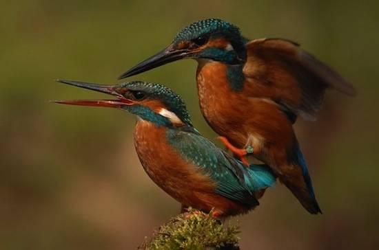 У самцов всех видов птиц есть ген, отвечающий за образование пениса, но только 3% из них действительно имеют пенис