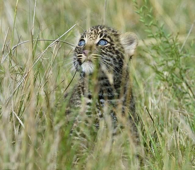 Позитивная история маленького леопарда (8 фото)