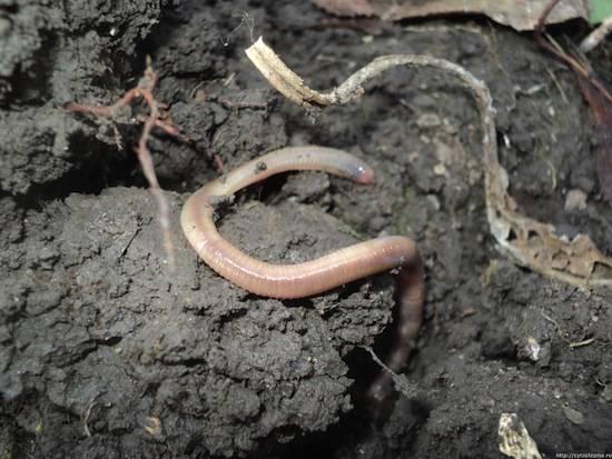 Дождевые черви вылезают на поверхность земли после дождя, чтобы не утонуть в заболоченной почве
