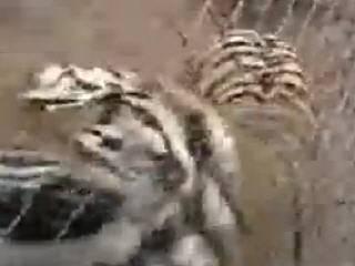 Не стоит снимать тигра без его желания