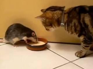 Наглая крыса