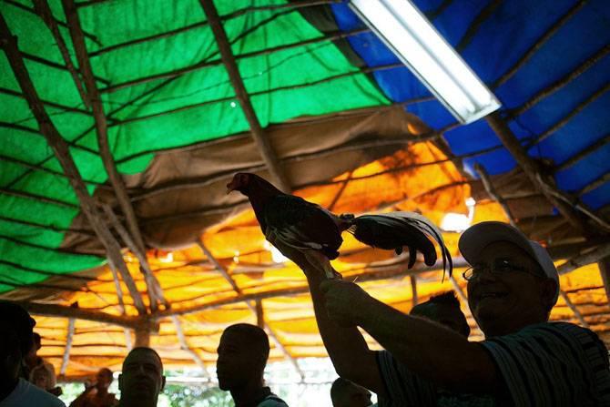 Петушиные бои на острове Свободы (21 фото)