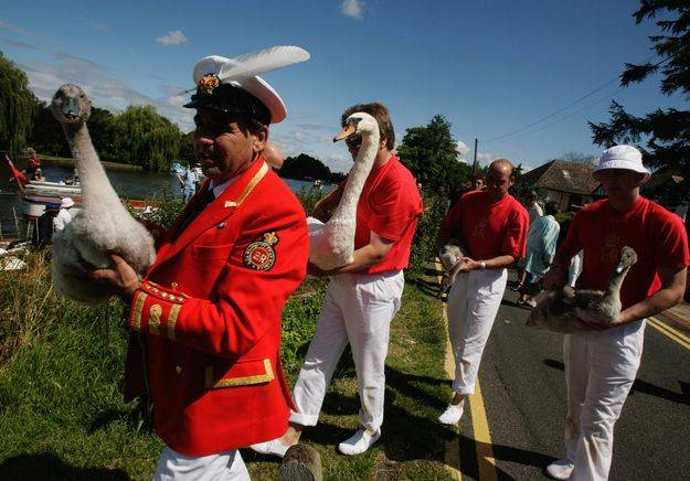Процедура пересчета королевских лебедей (4 фото)