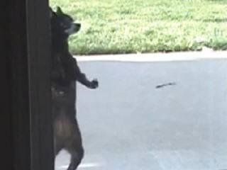 Собака - сальса танцевака