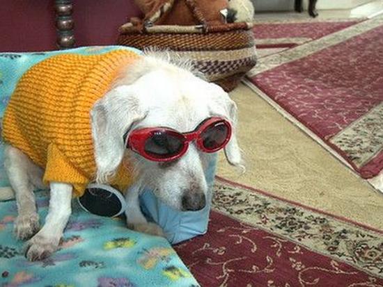 Самая старая собака в мире до сих пор жива и в этом году отпразднует своё тридцатилетие