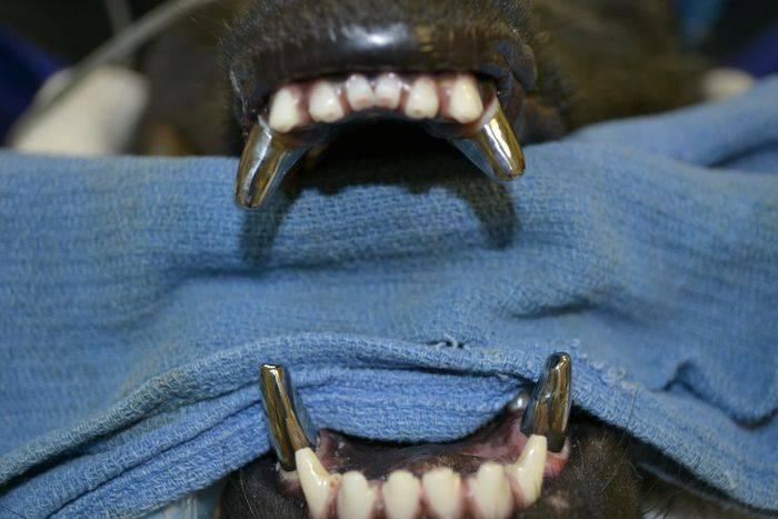 Титановые зубы собаки (7 фото)