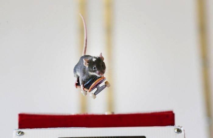 Скейтбординг Мышей (15 фото)