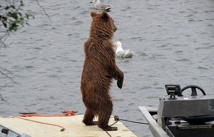 Медведь на водном скутере (5 фото)