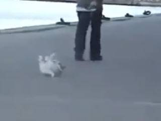 Собака отказываеся ходить на прогулке