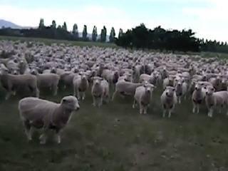Овцы протестуют