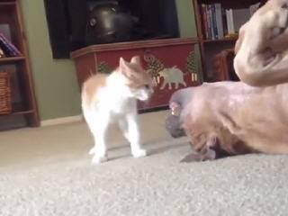 Котенок подчинил питбуля
