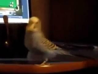 Попугай любит индийские танцы