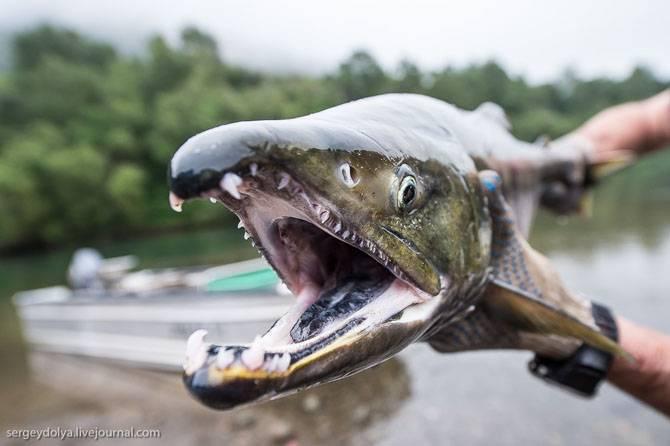 Как выращивают лосося на Камчатке (30 фото)