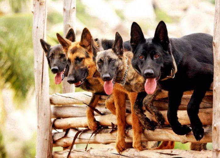 """Собаки-коммандос из тренировочного центра """"Wolfgrey K9″ (14 фото)"""
