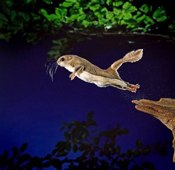 Полет белки-летяги (7 фото)