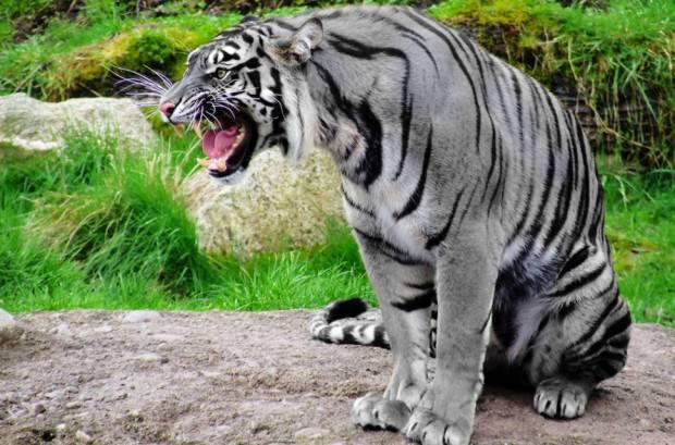 Синие тигры всё-таки могут существовать