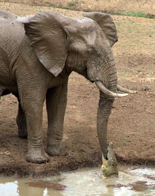 Коварная ловушка для слона (4 фото)