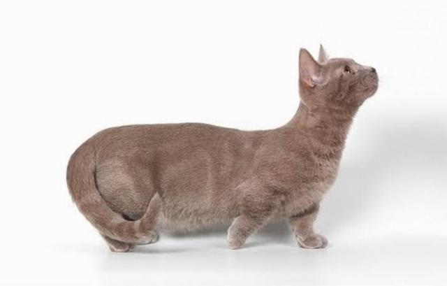 Манчкины - коты-таксы (14 фото)
