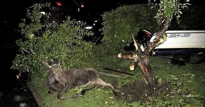 Пьяные лоси осенью в Швеции (4 фото)