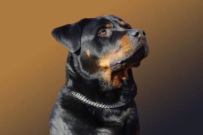Рейтинг самых дорогих пород собак (13 фото)