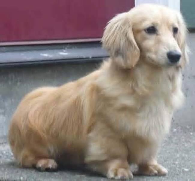 Породы собак, получившиеся от скрещивания известных пород (22 фото)