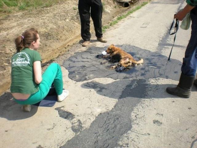 Спасение собаки из лужи асфальта (5 фото)