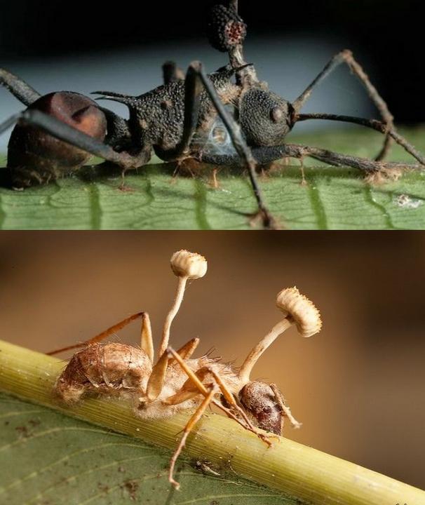 Грибы, которые превращают насекомых в зомби (4 фото)