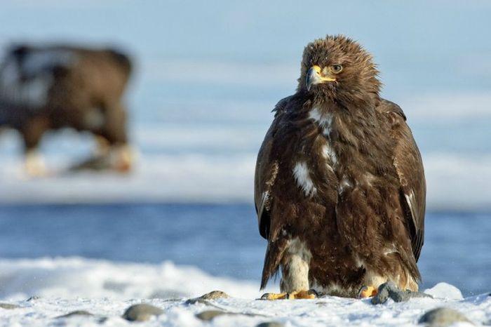 Прекрасные снимки дикой природы от Сергея Горшкова (51 фото)