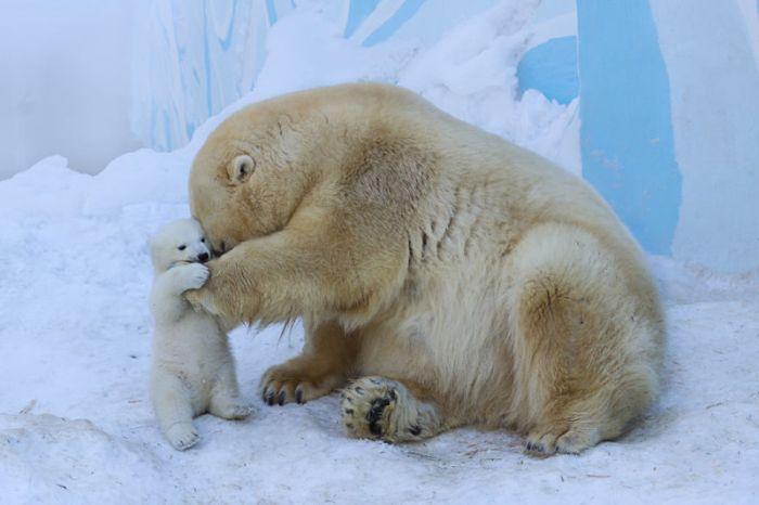 Медведица Герда впервые вывела из берлоги своего детеныша (4 фото)