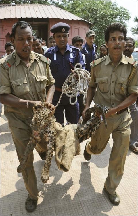 Спасение леопарда, упавшего в колодец (4 фото)