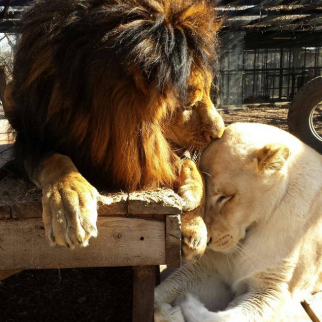 Как любовь льва спасла (7 фото)