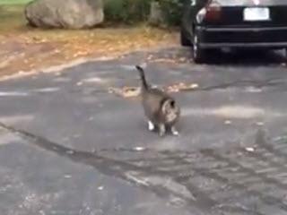Настоящий американский кот