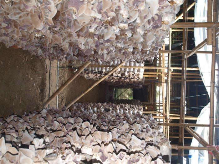 Как выращивают грибы в Китае (13 фото)