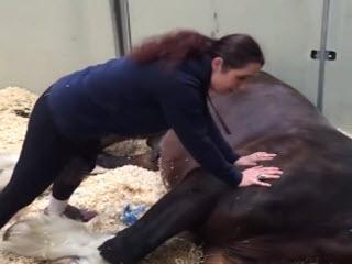 Конь не хочет вставать