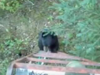 Медведь лезет на вышку