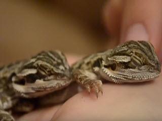 Ящерицы тоже любят ласку