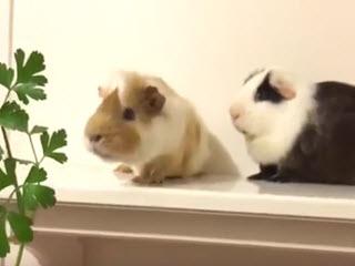 Свинки едят петрушку на скорость