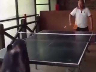 Шимпанзе играет в пинг-понг