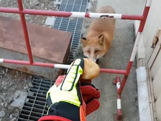 Как безопасно кормить лис