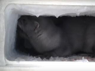 Норка помогает разморозить холодильник