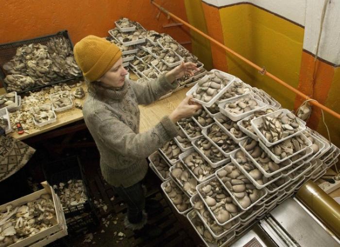 На бывшей секретной базе выращивают грибы (7 фото)