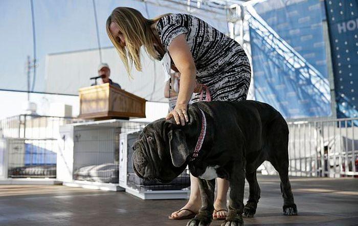 В США выбрали самую уродливую в мире собаку (6 фото)