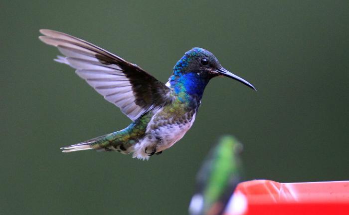 Колибри — птица, способная летать назад (11 фото)