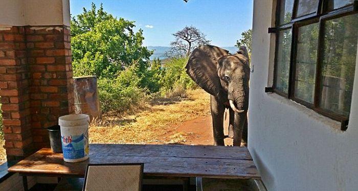 Раненый браконьерами слон вышел к людям (9 фото)