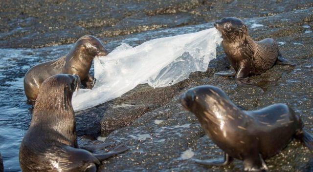 "Детеныши морского льва нашли себе ""игрушку"" (4 фото)"