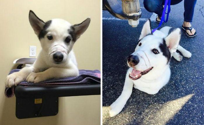 Трогательная история спасения щенка хаски (6 фото)