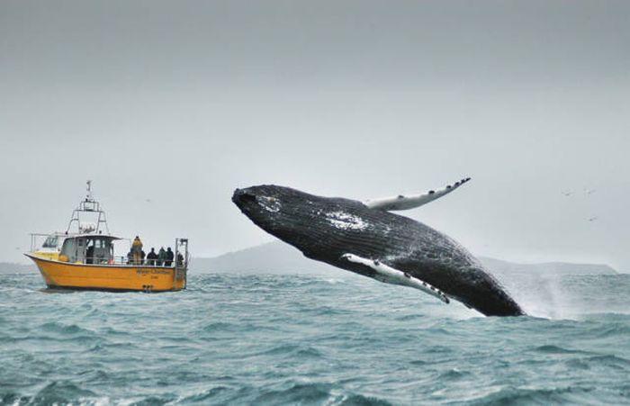 Снимки величественных китов (41 фото)