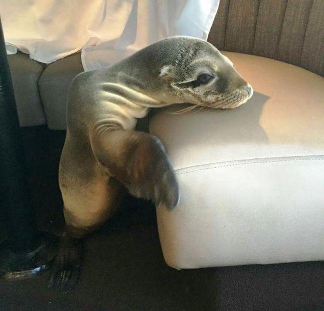 Морской лев отобедал в одном их ресторанов города Сан-Диего (4 фото)