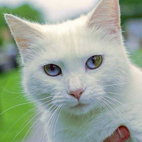 Удивительный взгляд кошки с врожденной гетерохромией (9 фото)